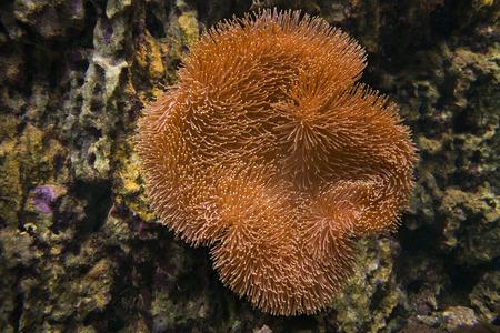 sarcophyton: Sarcophyton coral. Soft mushroom. The brown coral on a background of stones.
