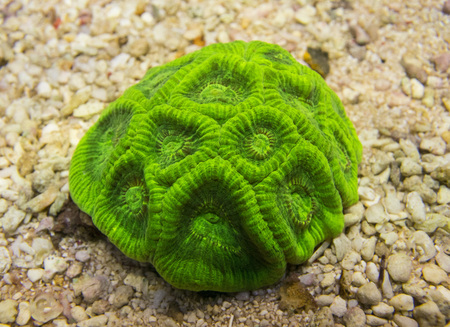 hard coral: Favia coral. Hard coral green on sand