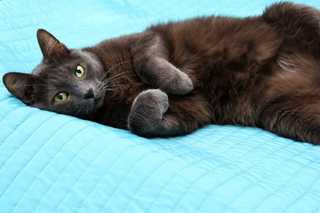 Impudent grey manchkin lying on the master bed and looing at camera. Stock Photo