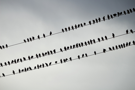 Group of Birds seats on wire on background of the grey sky