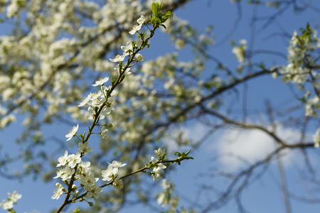 Apple blossom flowers in spring, blooming on young tree branch, isolated over blurred blue clear sky Standard-Bild