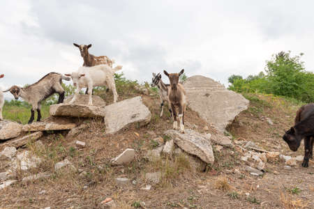 Goat cubs playing on the rocks. Sheep and goats grazing in a mountain meadow. Stock Photo