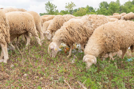 Sheep grazing in a meadow full of garbage. Concept of environmental pollution, danger to animals. Let's save the world.