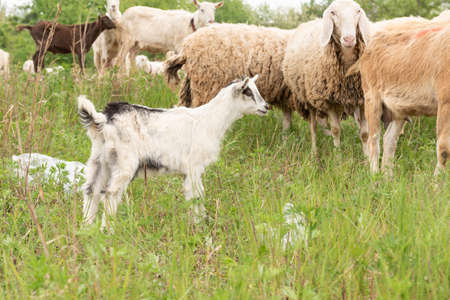 Front view of a baby goat facing the camera while grazing. Sheep and goats in a meadow. Foto de archivo