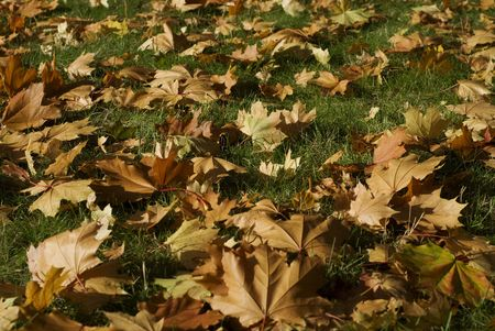 Close up of marple leaves on the grass in autumn
