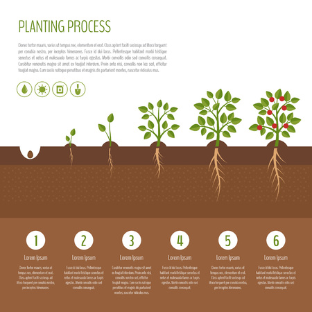 Planting tree process infographic. Tree growth. Bush vegetables growth stages.  Steps of plant growth. Business concept. Flat design, vector illustration.