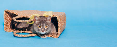 A cute fluffy gray cat with a yellow bow around his neck lies in a basket on a blue background and looks into the camera. Banner. A place for text. Animal Welfare Day. Veterinary. Greeten postcard
