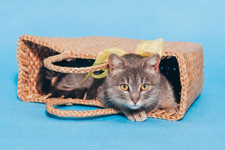 A cute fluffy gray cat with a yellow bow around his neck lies in a basket on a blue background and looks into the camera. Close up. A place for text. Animal Welfare Day. Veterinary. Greeten postcard