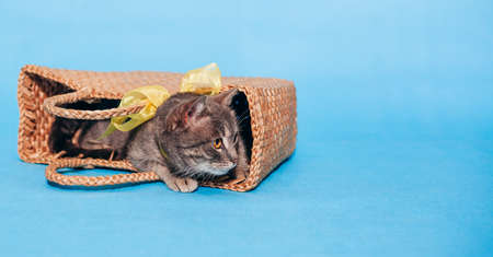 Cute fluffy gray cat with a yellow bow around his neck lies in a basket on a blue background and do not looks into the camera. Banner. Place for text. Animal Welfare Day. Veterinary. Greeten postcard