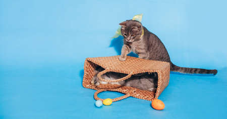 A cute fluffy gray cat with a yellow bow on his neck sits near the basket on a blue background and touches the basket with his paw. Banner. Place for text. Animal Protection Day. Veterinary.