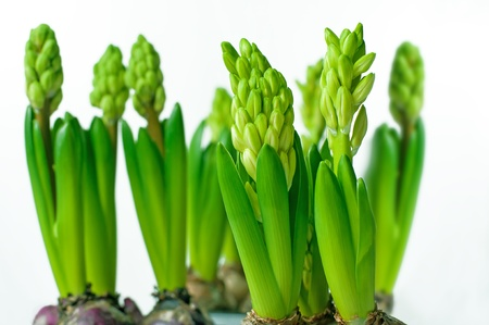 Green hyacinth buds on white background photo