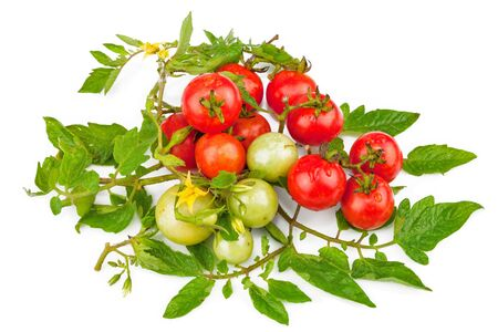 Branch of tomatoes with green leaves isolated on white background Stock Photo