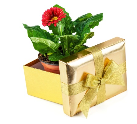 Red flower in a pot inside the open golden box isolated on white background