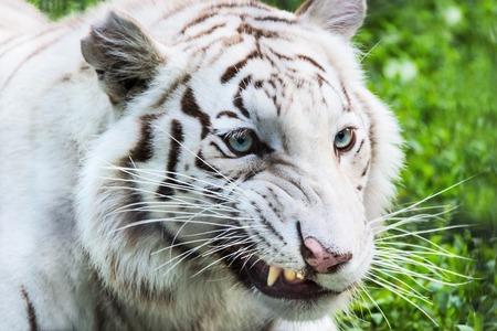 bared teeth: White tiger bared teeth with grass