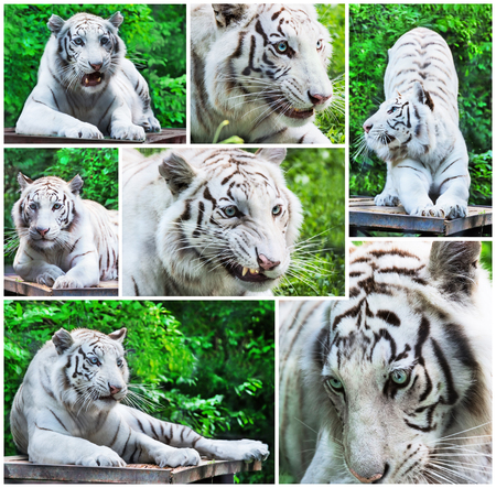 white tigers: Collage from white tigers in different poses