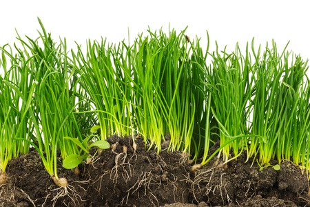 Section of green plants with roots and soil isolated on white background