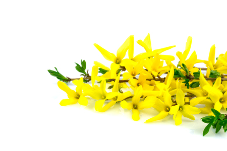 Spring flower forsythia and green leaves isolated on white background