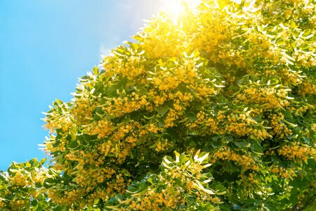 Blooming linden branches on sky with sun