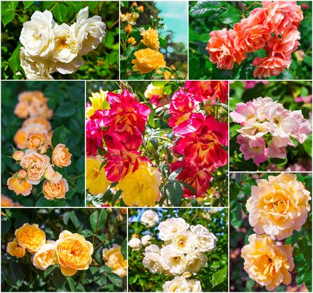 Beautiful fresh pink and yellow roses, collection Stock Photo