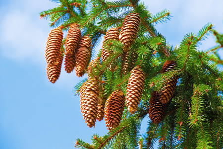 Macro view of pine tree with cones on sky background Stock Photo