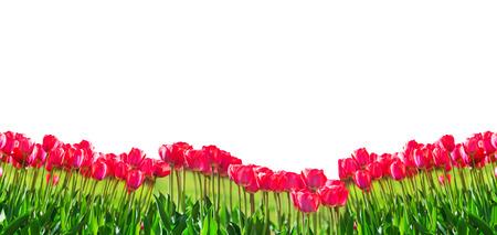 Fresh magenta tulips isolated on white background Reklamní fotografie - 74883647