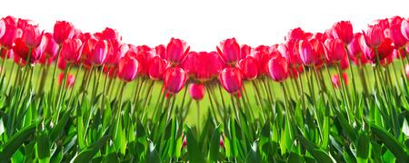 Fresh magenta tulips isolated on white background Reklamní fotografie - 74887230