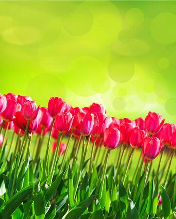 Fresh magenta tulips on green bokeh background Reklamní fotografie - 75780923
