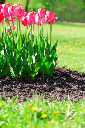 Fresh magenta tulips with grass and soil in the garden