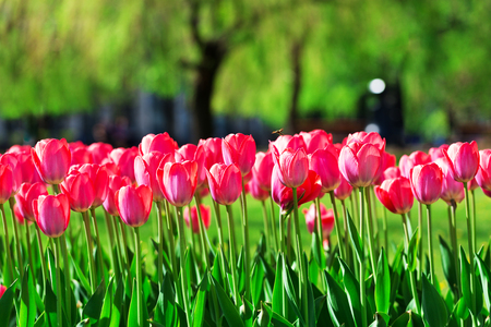 Fresh magenta tulips in the park Stock Photo