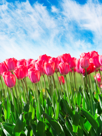 Fresh magenta tulips with sky, outdoors