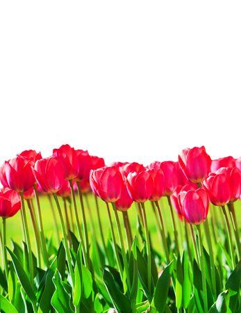 Fresh magenta tulips isolated on white background Reklamní fotografie - 75724547