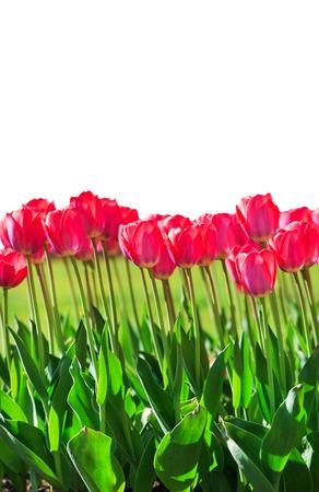 Fresh magenta tulips isolated on white background Reklamní fotografie - 74883649