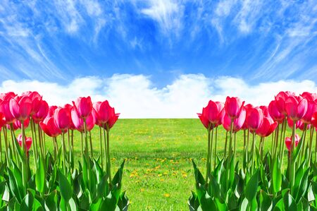 Fresh magenta tulips with sky and ground