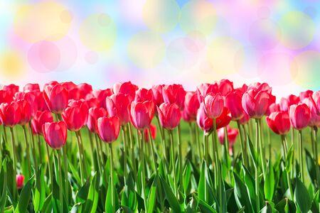 Fresh magenta tulips, bokeh Reklamní fotografie - 74883641