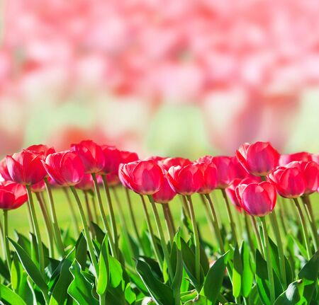 Fresh magenta tulips on pink flowers background