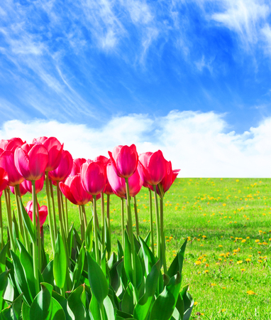 Fresh magenta tulips with sky