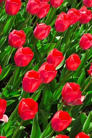 Fresh magenta tulips, background