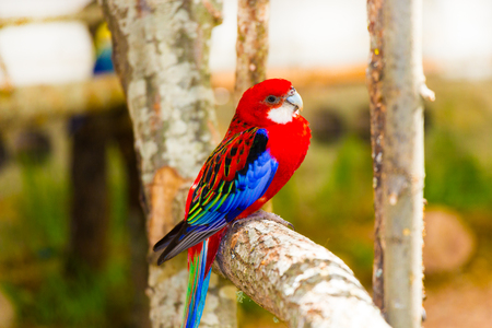 Red parrot, budgerigar, eclectus Stock Photo