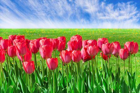 Fresh magenta tulips outdoors