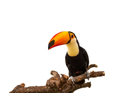 Colorful toucan on the branch isolated on white background