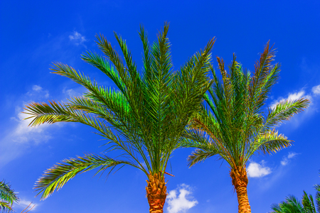 Palm tree on blue sky with white clouds