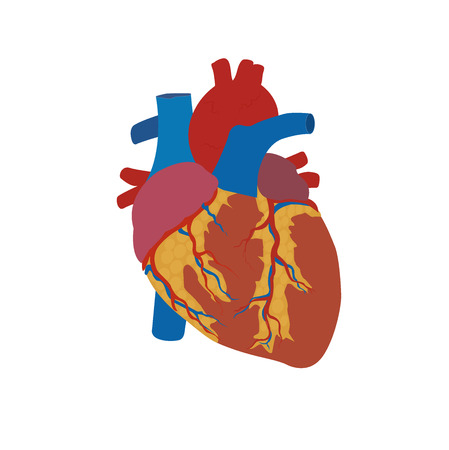 human heart concept, medical, healthcare, flat style, vector illustration, template Illustration