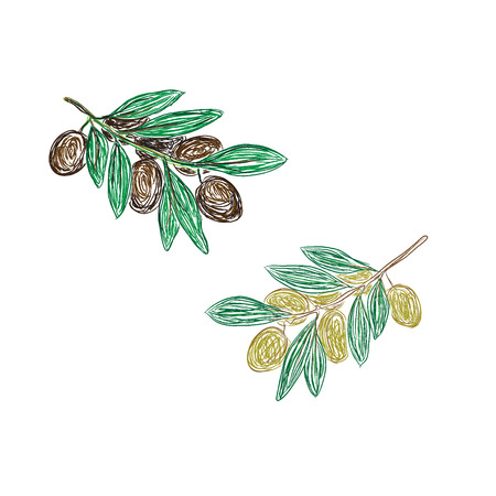 branch of black and green olives, sketch style, vector illustration