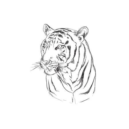 tiger, sketch style, vector illustration