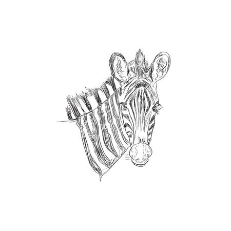 zebra, wild animal, sketch style, vector illustration Ilustracja