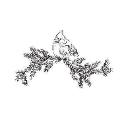 Cardinal bird, sketch, vector illustration