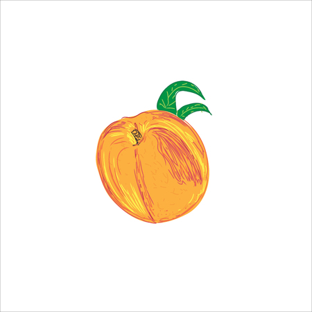 peach in sketch style, vector illustration