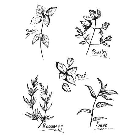Herbs and spices, basil, parsley, mint, rosemary, sage in sketch style.