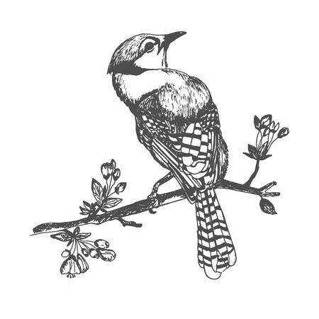 Blue jay bird, hand drawn vector illustration.