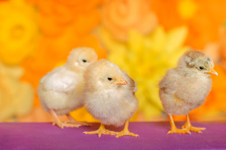 ry: Three little chicken on a bright background. Stock Photo
